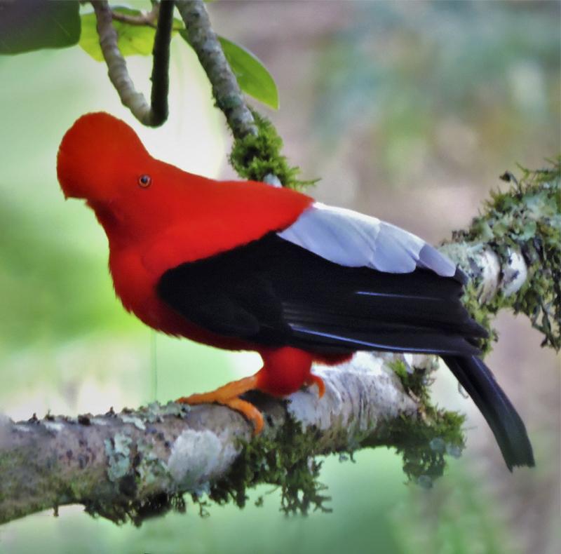 Andean Cock of the Rock - Rupicola peruviana - Birding in Colombia