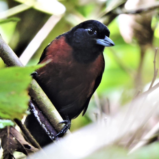 Black Bushbird - Neoctantes niger - birdwatching colombia