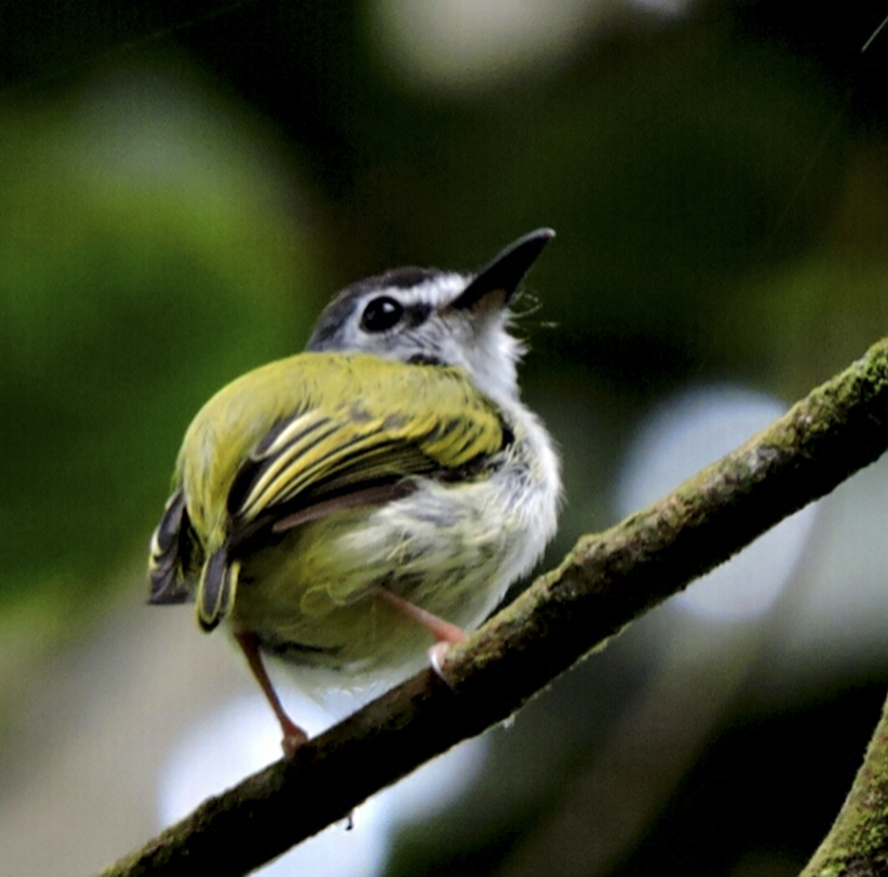 Black-capped Pygmy Tyrant - Myiornis atricapillus