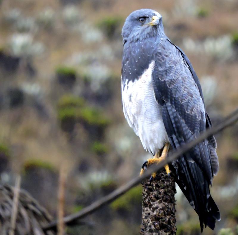 Black-chested Buzzard Eagle - Geranoaetus melanoleucus - Sumapaz National Park