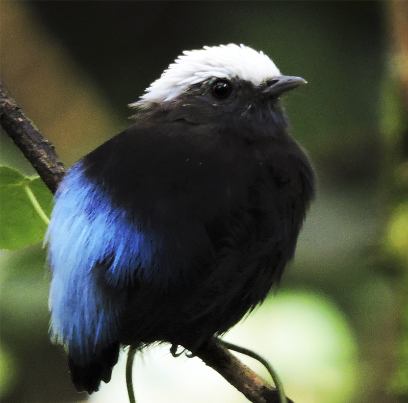 Blue-rumped Manakin - Lepidothrix isidorei - big natural