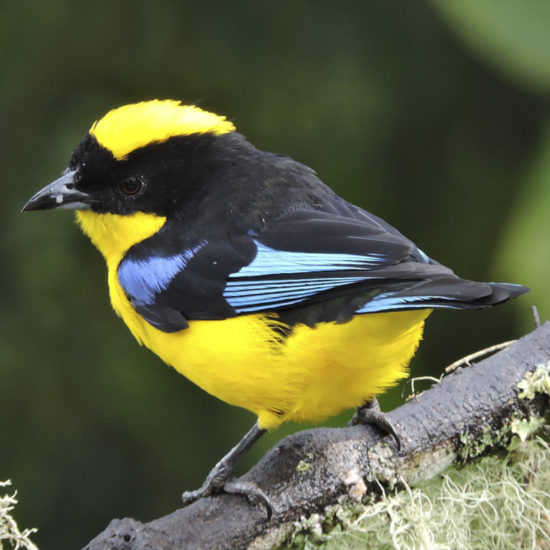 Blue-winged Mountain-Tanager - Rio Blanco