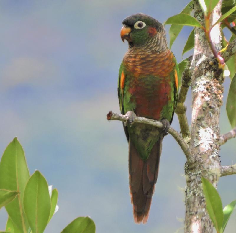 Brown-breasted Parakeet - Pyrrhura calliptera - Bosque Guajira Birding