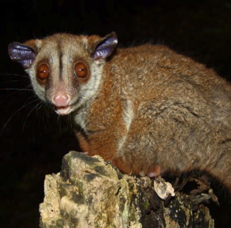 Brown-eared Wooly Opossum - Caluromys lanatus