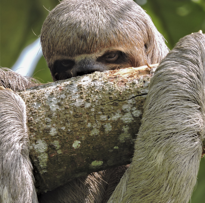 Brown-throated Three-toed Sloth - Bradypus variegatus