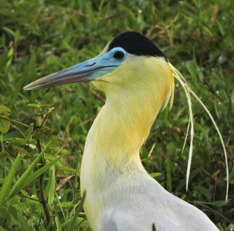 Capped Heron - Pilherodius pileatus
