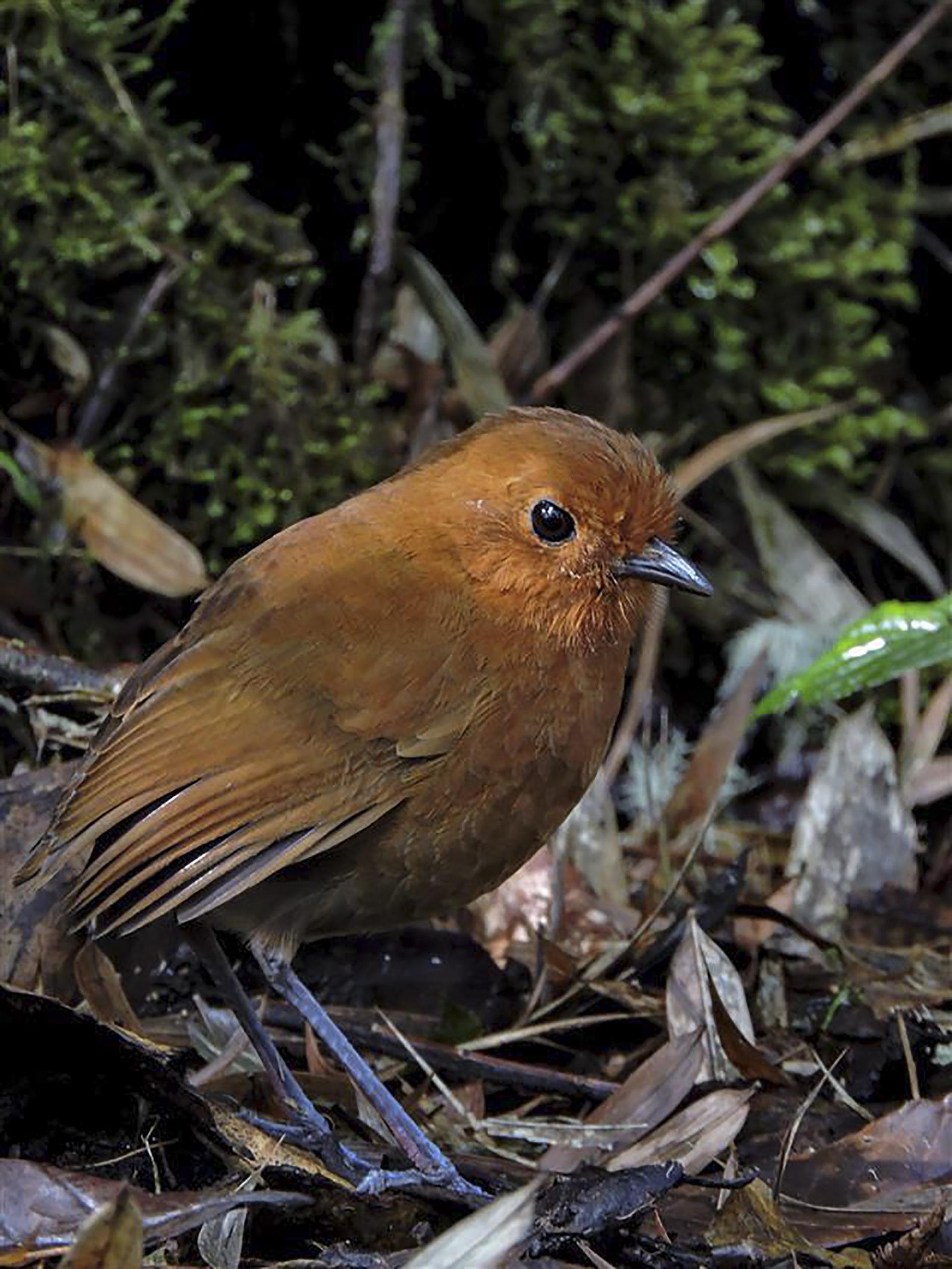 Chamí Antpitta - Grallaria alvarezi - Birding in Colombia