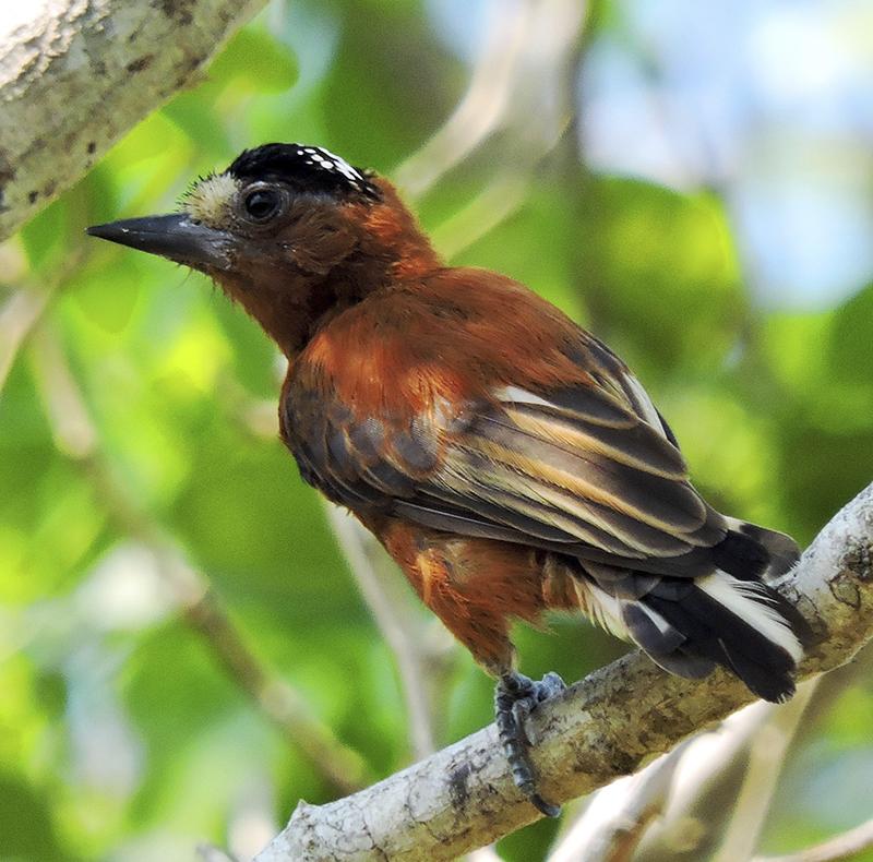 Chestnut Piculet - Barranquilla