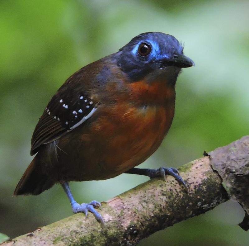 Chestnut-backed Antbird - Myrmeciza exsul