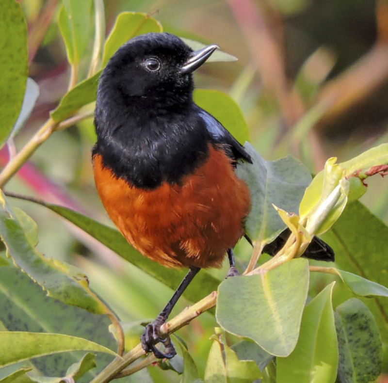 Chestnut-bellied Flowerpiercer - Diglossa gloriosissima - Bird