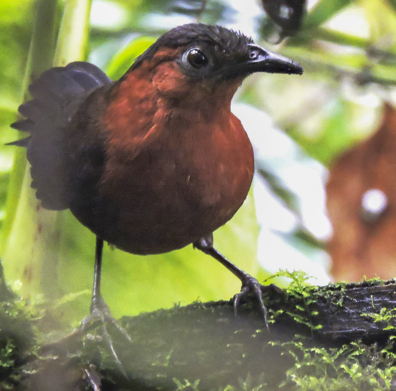 Chestnut-breasted Wren - Cyphorhinus thoracicus - birdwatching Colombia