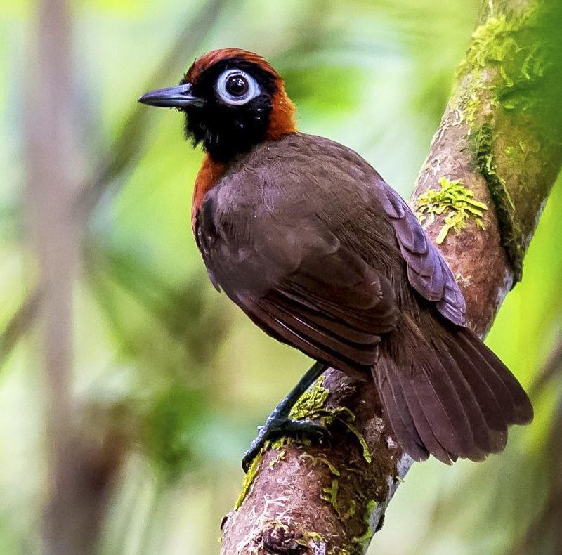Chestnut-crested Antbird - Rhegmatorhina cristata - woodpecker