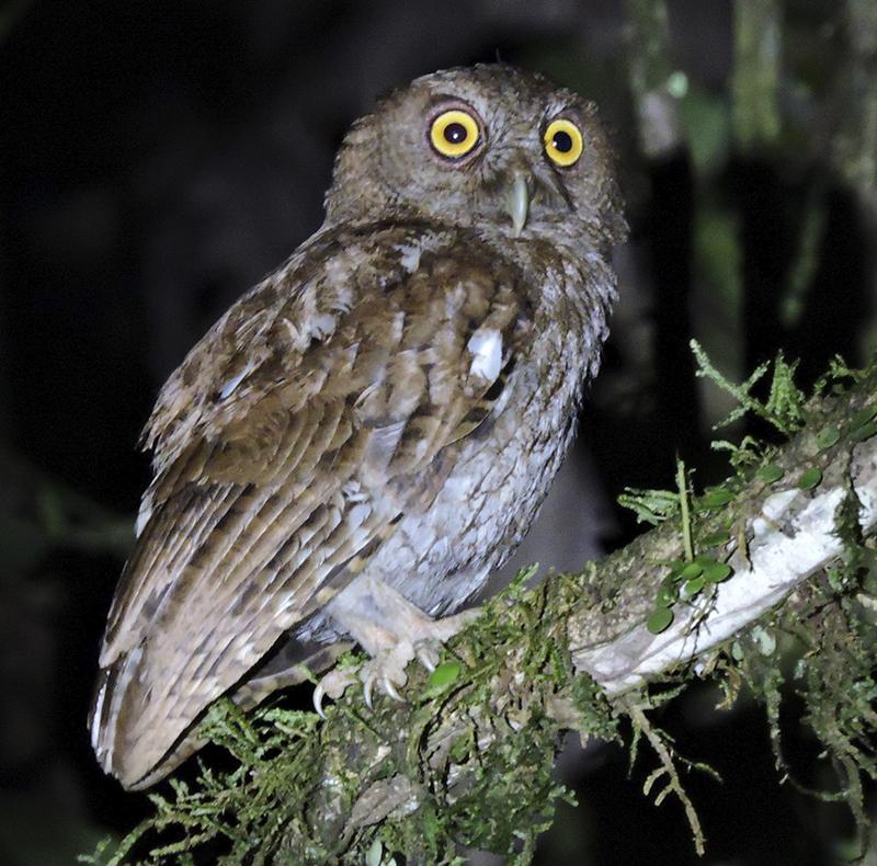 Choco Screech-Owl - Megascops centralis