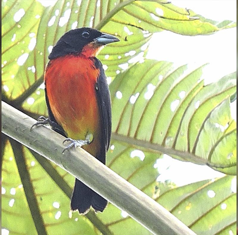 Crimson-breasted Finch - Rhodospingus cruentus - Birdwatching Colombia -Birding Colombia