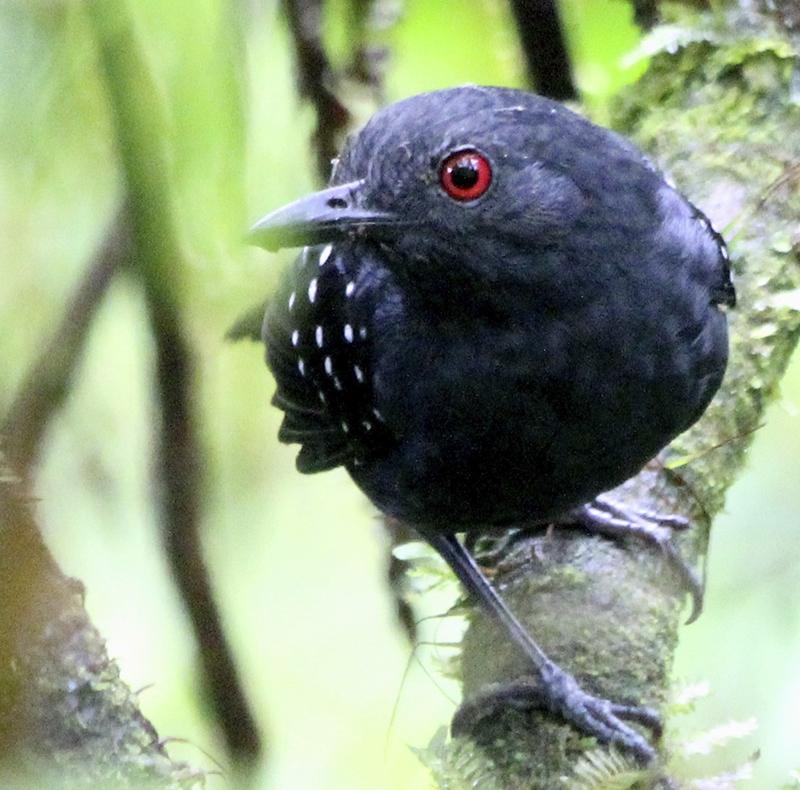 Esmeraldas Antbird - Myrmeciza nigricauda - Birdwatching Colombia