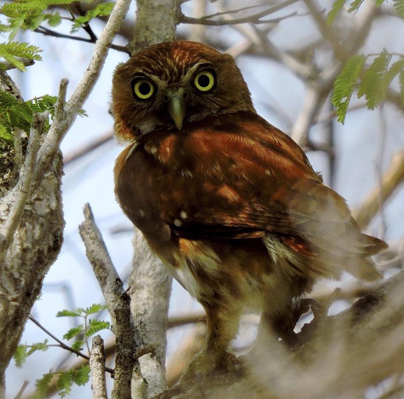 Ferruginous Pygmy-Owl - Glaucidium brasilianum - Birding Tours