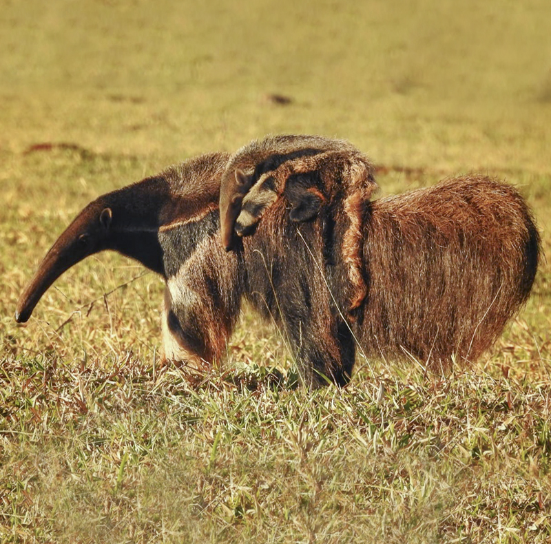 Giant Anteater - Myrmecophaga tridactyla - Mammals of Colombia