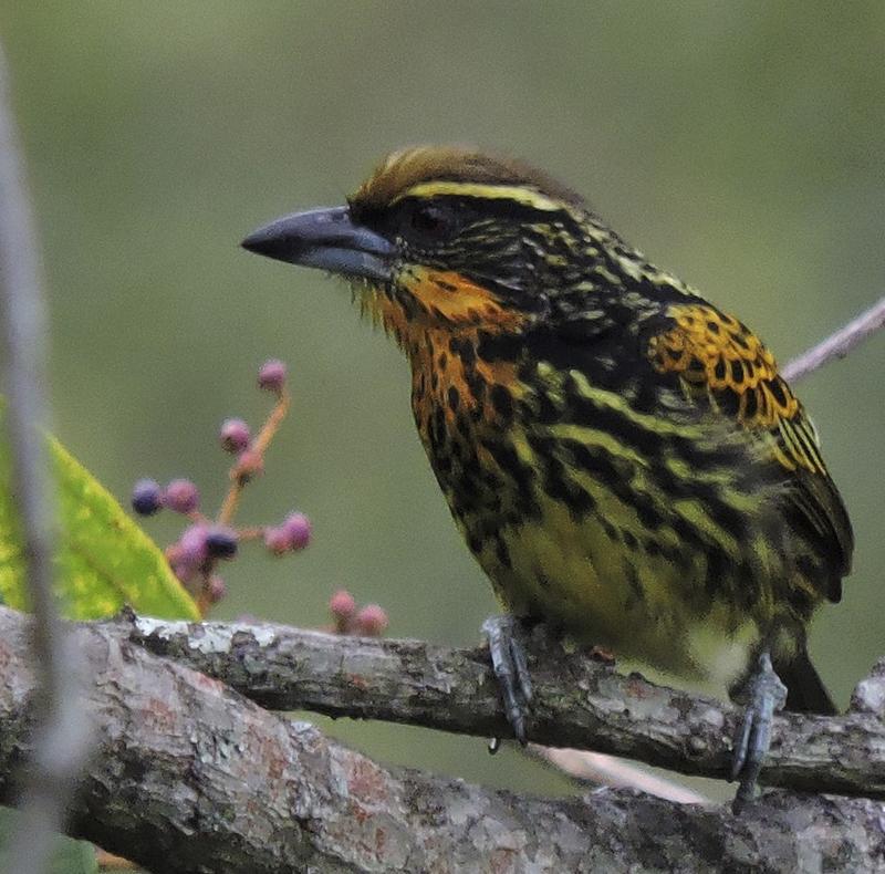 Gilded Barbet - Capito auratus