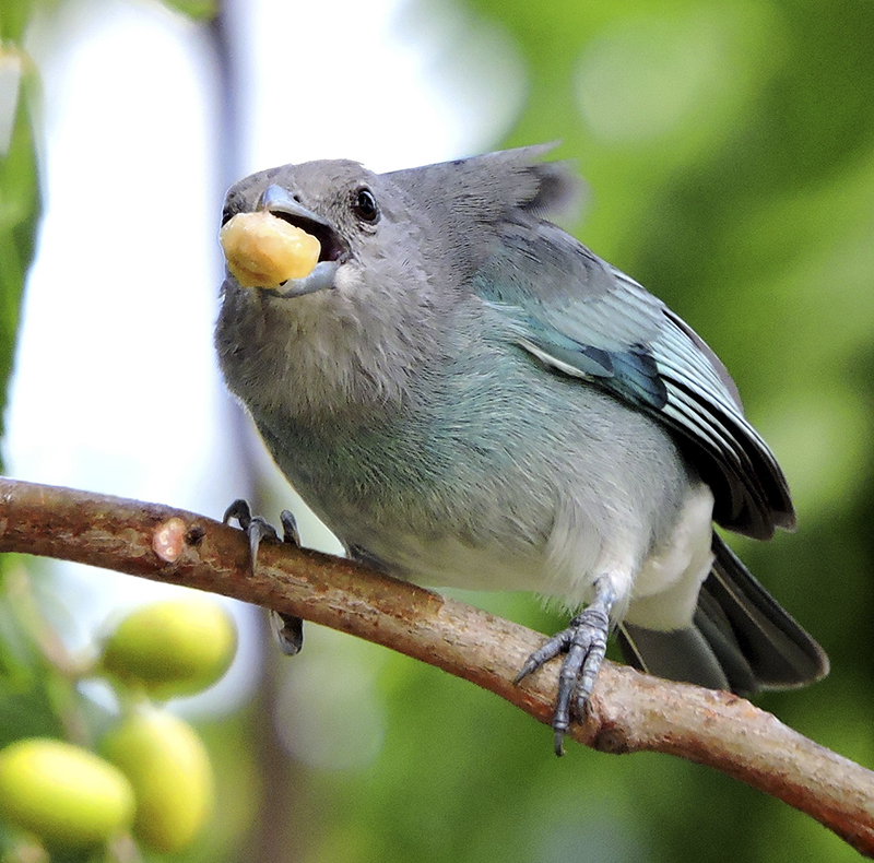 Glaucous Tanager - Thraupis glaucocolpa - Birding Tours