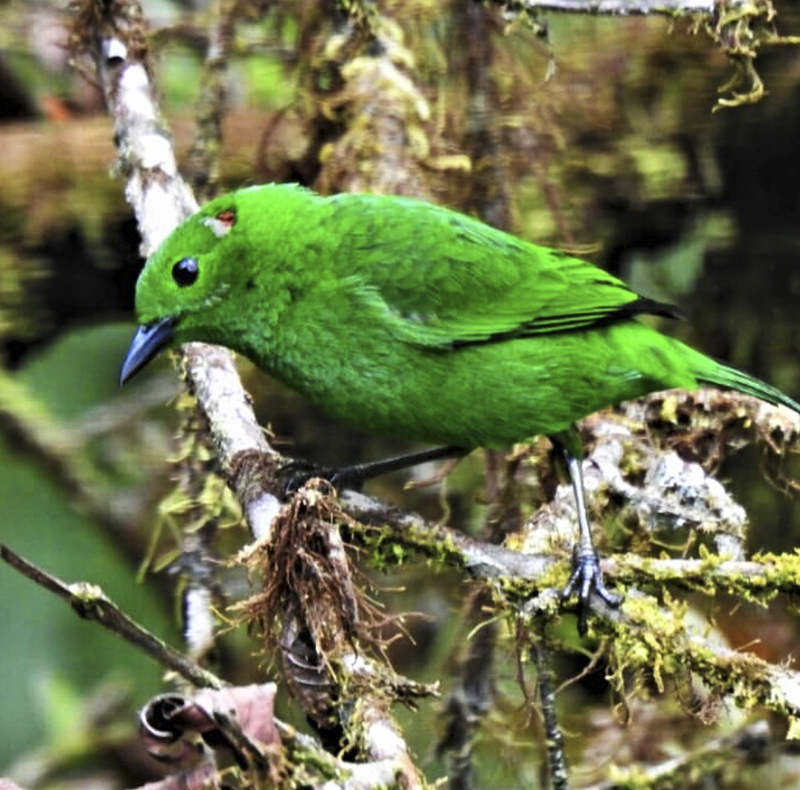 Glistening green Tanager - Chlorochrysa phoenicotis - Birdwatching Colombia