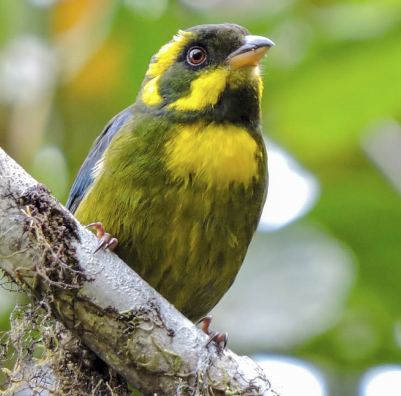 Gold-ringed Tanager - Bangsia aureocincta - Nature Tour