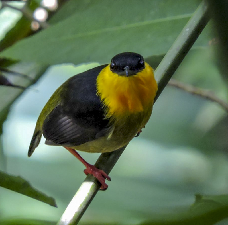 Golden-collared Manakin - Manacus vitellinus