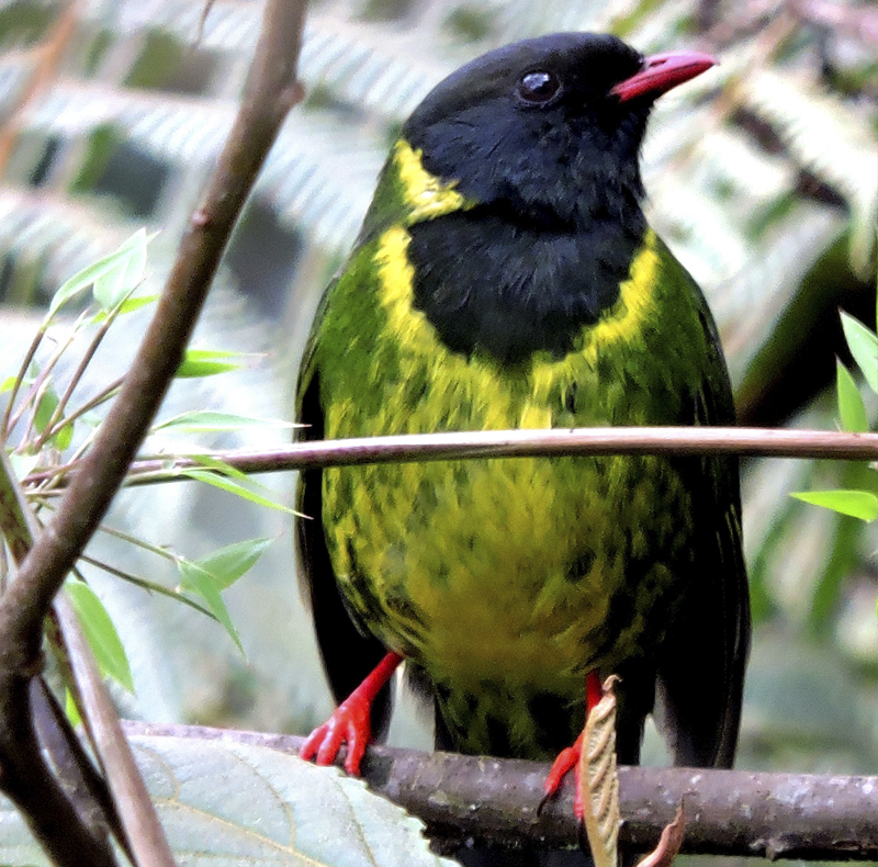 Green and Black Fruiteater - Pipreola riefferii