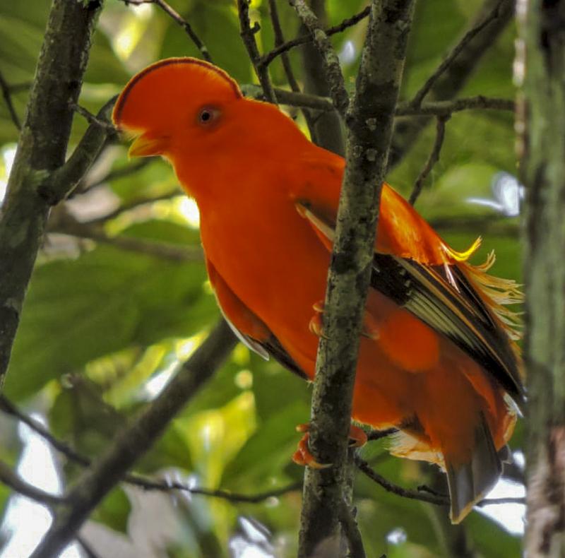 Guianan Cock of the Rock - Rupicola rupicola