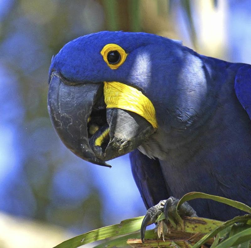 Hyacinth Macaw - Anodorhynchus hyacinthinus - Pantanal