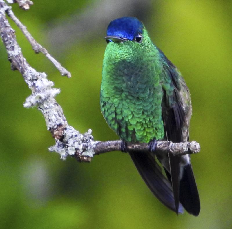 Indigo-capped Hummingbird - Amazilia cyanifrons - Birdwatching Colombia