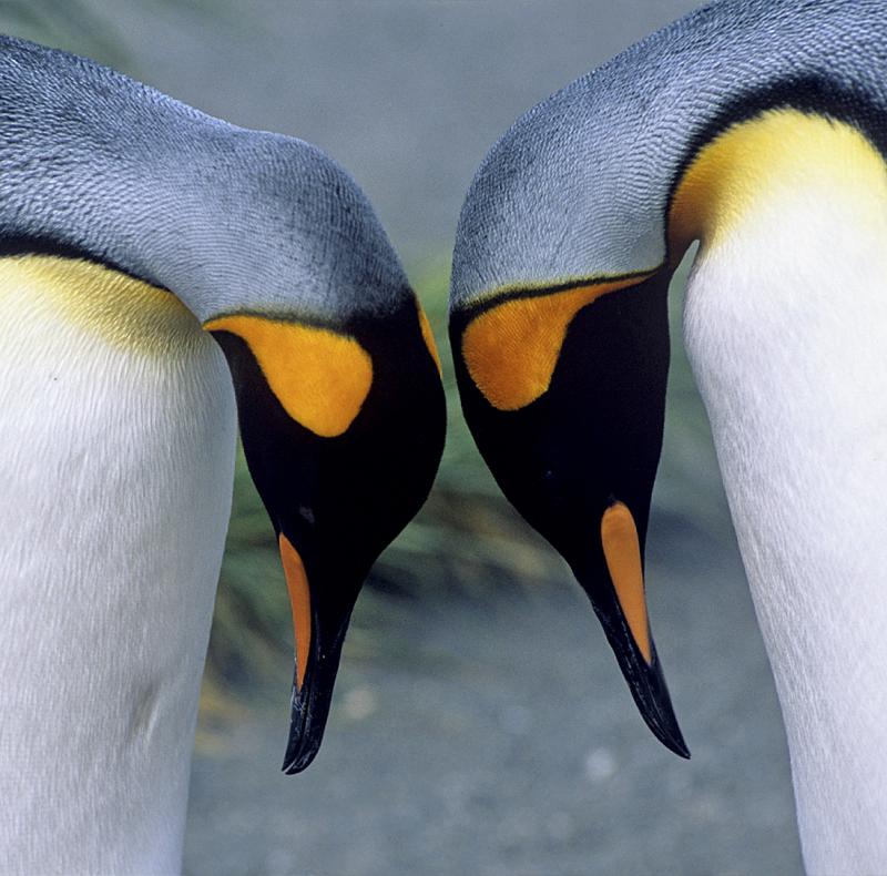 King Penguins - Aptenodytes patagonicus - Rinie van Meurs