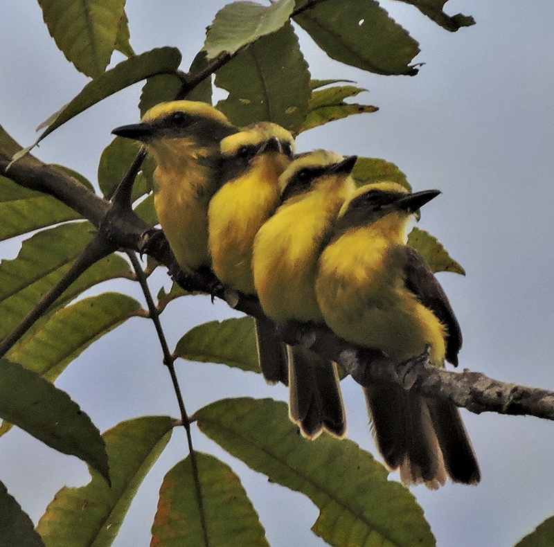 Lemon-browed Flycatcher - Conopias cinchoneti