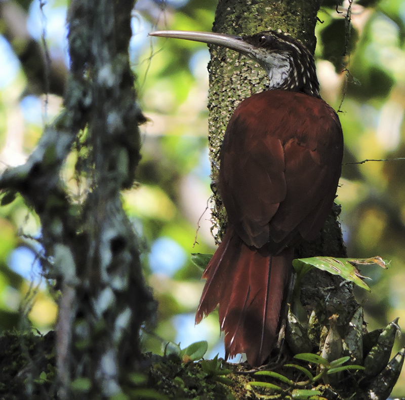 Long-billed Woodcreper
