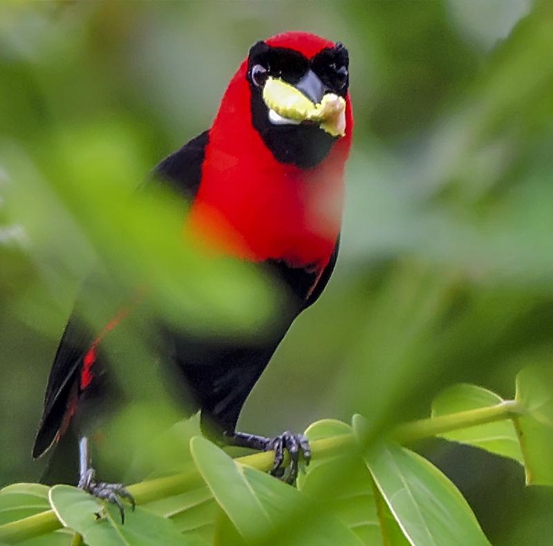 Masked Crimson Tanager - Ramphocelus nigrogularis