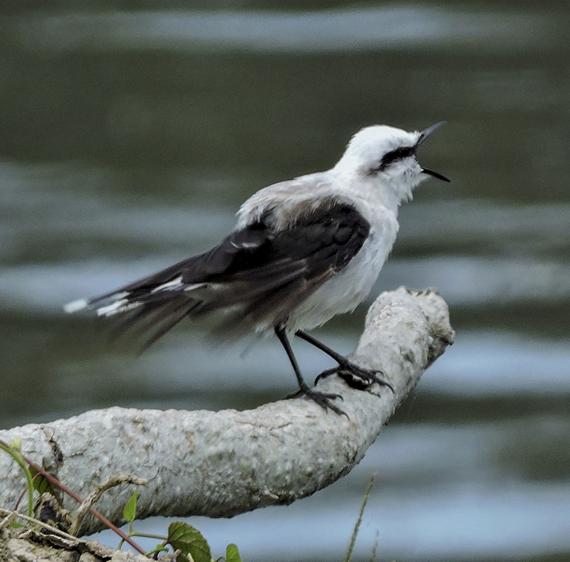 Masked Water-Tyrant - Fluvicola nengeta