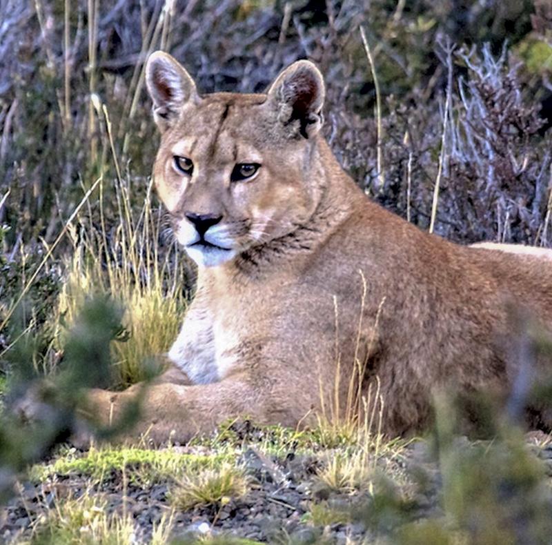 Mountain Lion - Puma concolor