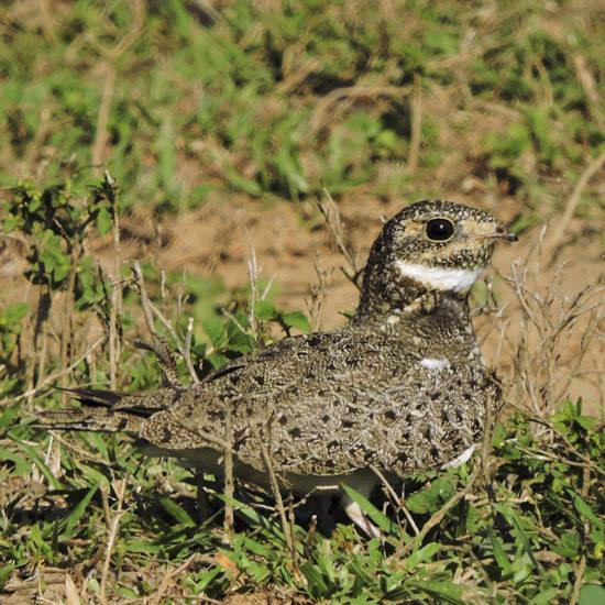 Nacunda Nighthawk - Chordeiles nacunda