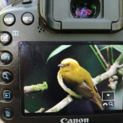 Nice picture or Yellow headed Manakin