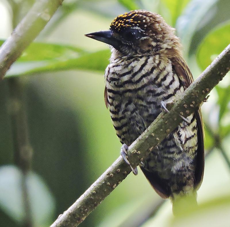 Orinoco Piculet - Picumnus pumilus - birdwatching colombia