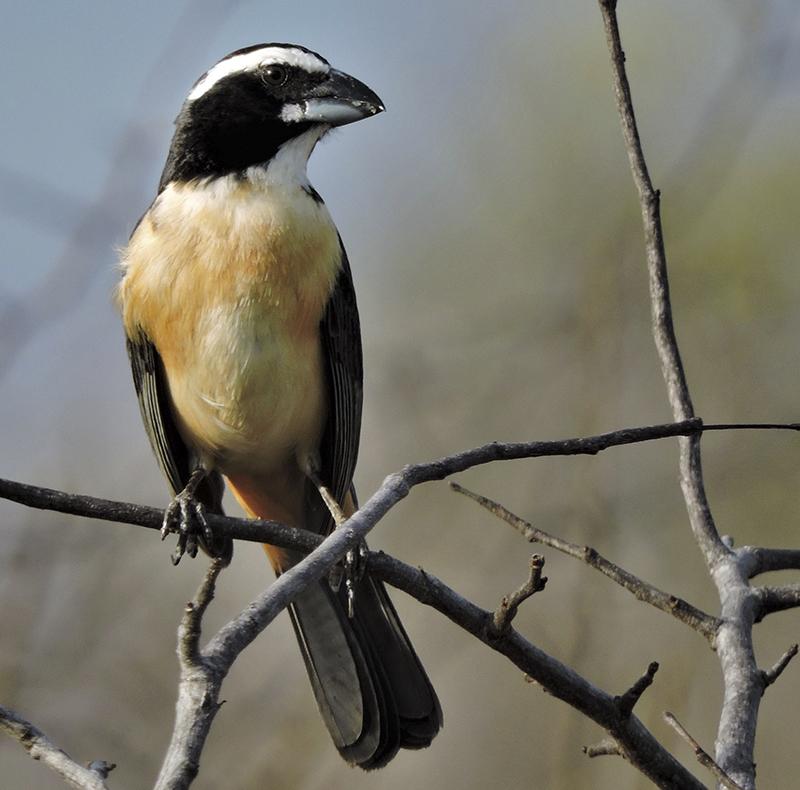 Orinoco Saltator - Saltator orenocensis - Birding Tours