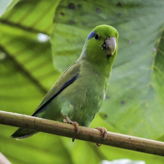 Pacific Parrotlet - Forpus coelestis