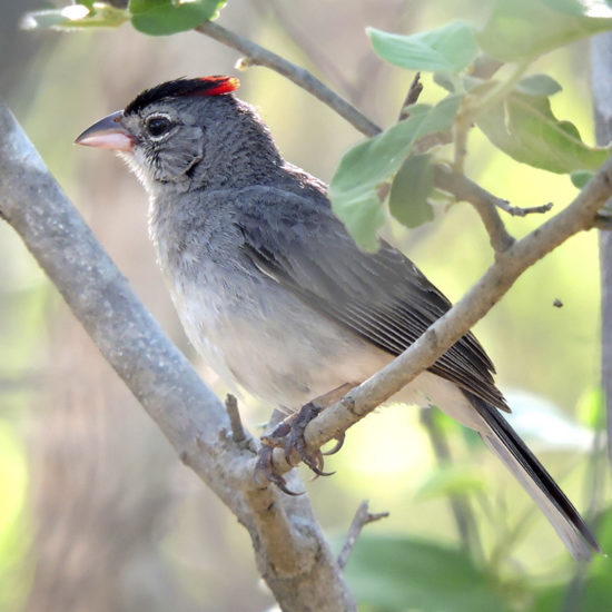Pileated Finch - Coryphospingus pileatus