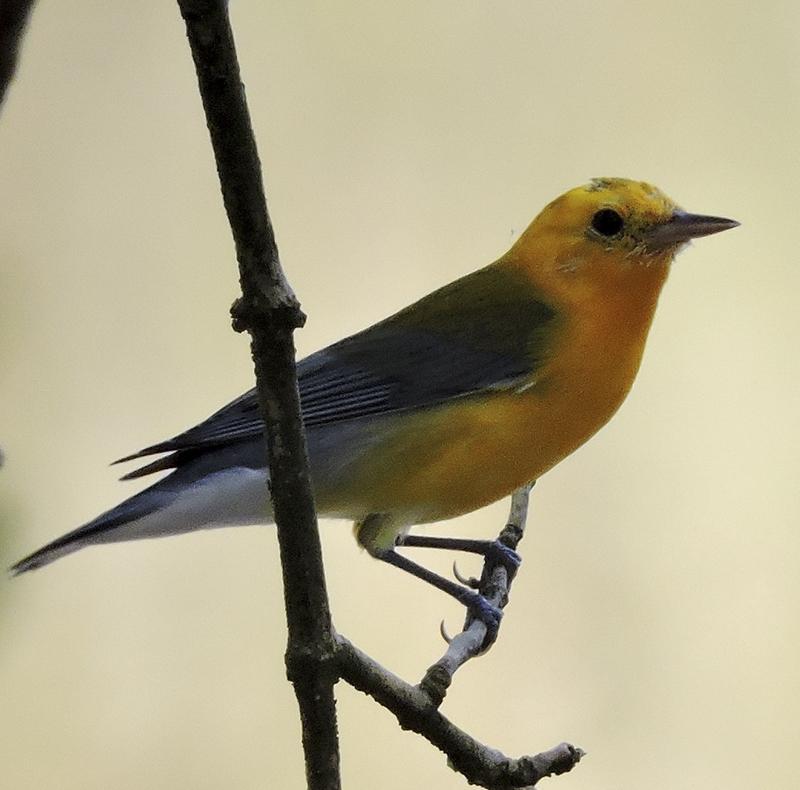 Protonotrary Warbler - Protonotaria citrea - Birding Tours