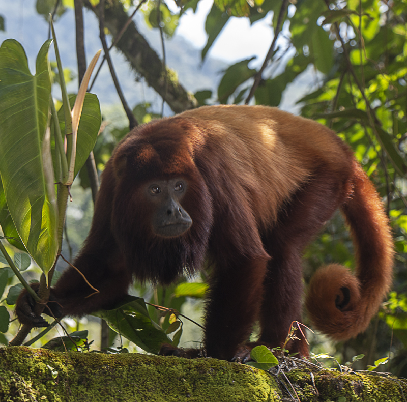 Red-howler Monkey - Alouatta seniculus - Mammals of Colombia