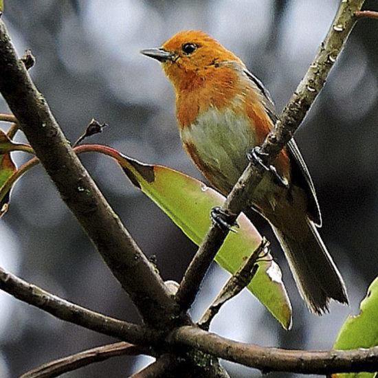 Rufous-chested Tanager - Thlypopsis ornata - Birdwatching Colombia