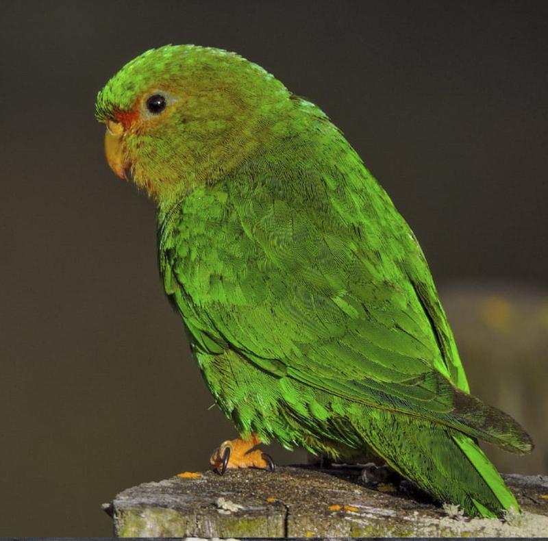Rufous-fronted Parakeet - Bolborhynchus ferrugineifrons - birdwatching