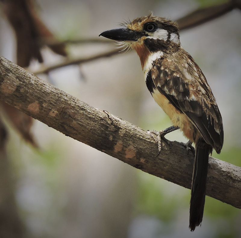 Russet-throated Puffbird - Hypnelus ruficollis