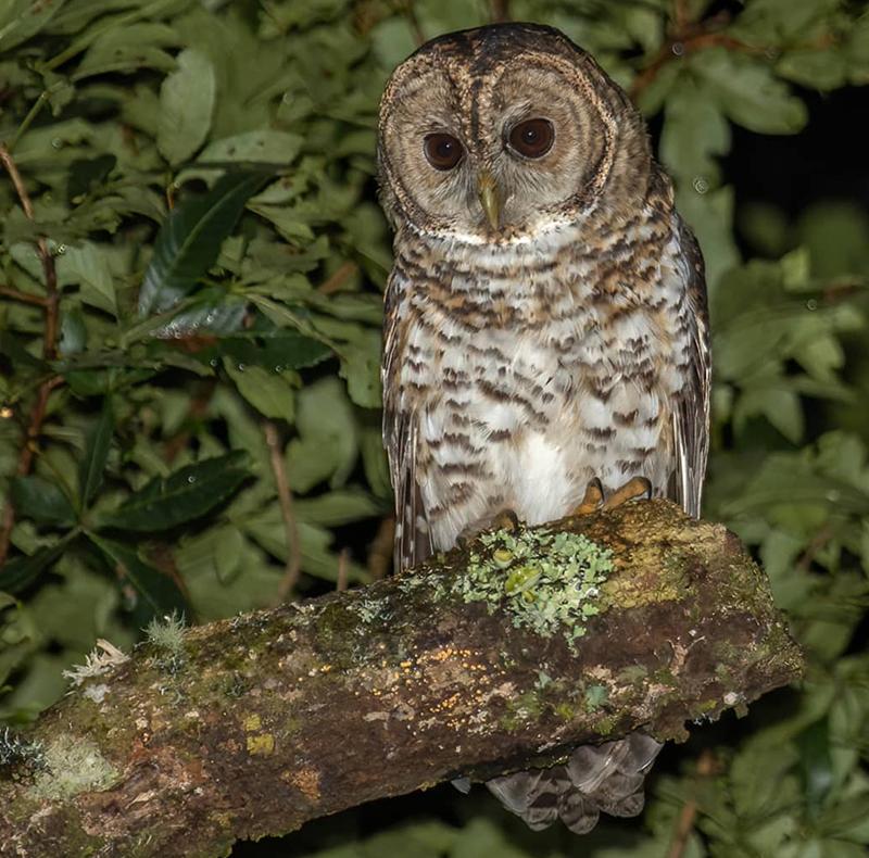 Rusty-barred Owl - Belmira McLeod