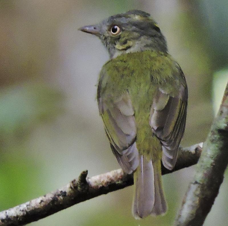 Saffron-crested Tyrant-Manakin - Neopelma chrysocephalum - birdwatching colombia