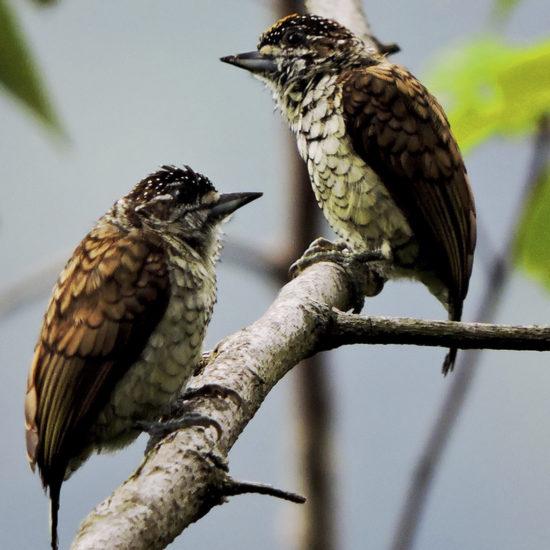 Scaled Piculet - Picumnus squamulatus - Birding Tours